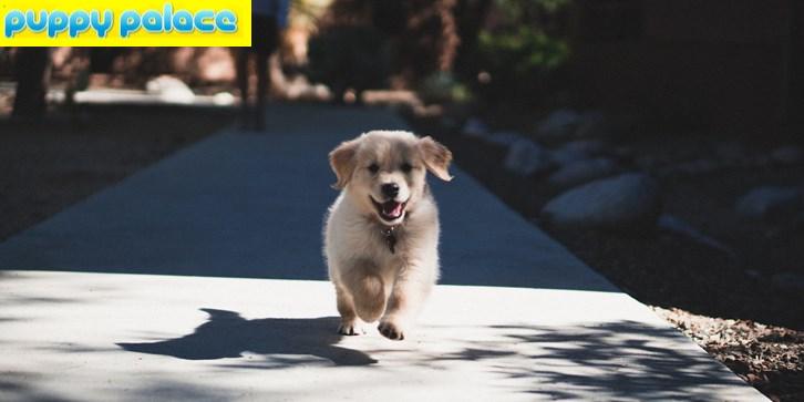 How to Buy Golden Retriever Puppies in Brisbane